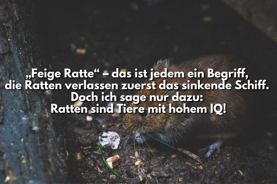 Bild mit Text feige Ratte
